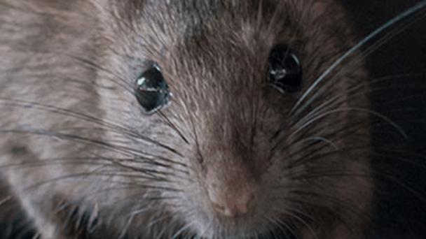 RUVZBA - Celoplošná preventívna deratizácia