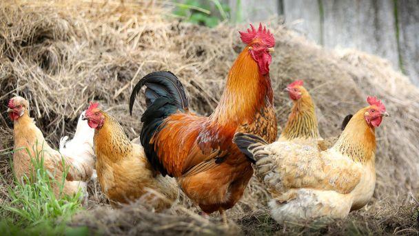 Vtáčia chrípka- opatrenie Regionálnej veterinárnej a potravinovej správy Senec